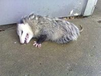 "The ultimate in ""freeze response"", tonic immobility in an opossum, at Wikimedia"