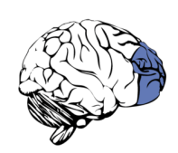 Prefrontal Cortex of Brain, from Erik Lundström at Wikimedia
