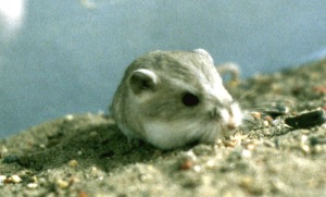 Kangaroo mouse from Fish Lake Valley, Nevada