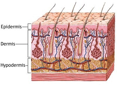 What does the integumentary system do
