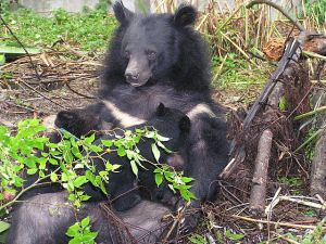 Formosan Black Bear Suckling Cubs, from Abu0804 at Wikimedia
