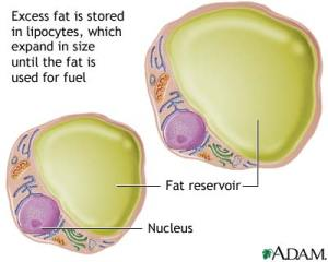 Fat Cells