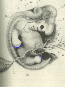 Apical Ectodermal Ridge (AER, blue) on human embryo, modified from Alexander Ecker: Icones physiologicae', 1851-1859, US Public Domain, from Wikimedia