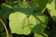 Kudzu leaves, by Bubba73 (Jud McCranie) at Wikimedia