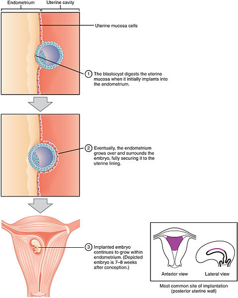 Implantation of Embryo Into Uterine Wall, from Anatomy & Physiology, Connexions Web site.