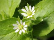 Chickweed (Stellaria media), a Healing Herb for Skin (from Wikipedia)