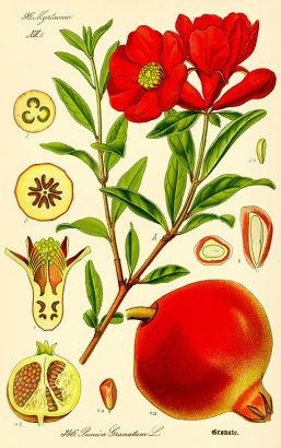Pomegranate, Punica granatum. Illustration by Otto Wilhelm Thomé, 1885, (Public Domain, PD-1923, PD-old-70)