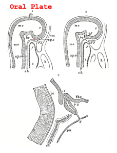 Rabbit Embryo, longitudinal section, modified from Gray's Anatomy at Wikimedia. A. humans, ~ 22 days, B. humans, ~ 30 days. long. C. 16 mm long. In A the oral plate is still intact, in B it is disappearing so that the stomodeum opens into the primitive pharynx, modified from Wikimedia., http://commons.wikimedia.org/wiki/File:Gray1182.png